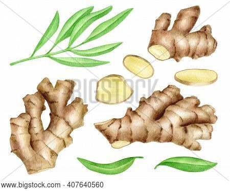 Ginger Root With Slices And Leaves Set. Hand Drawn Watercolor Ginger Rhizome Illustration Isolated O