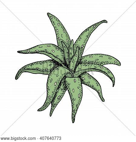 Aloe Vera Vector Illustration. Hand Drawn Green Graphic Plant With Black Contour Isolated On White B