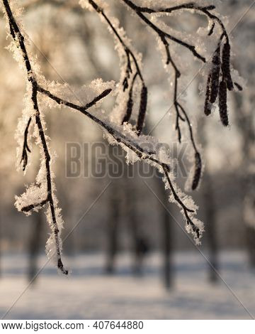 Alder ( Alnus ) Branches With Catkins In The Snow On A Natural Blurred Background. Snow-covered Bran