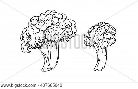 Drawing Of Cauliflower. Image Of Vegetables In The Sketch Style In A Vector. 2 Pieces Of Cauliflower