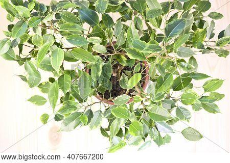 Indoor Plant Ficus Benjamin, Top View. Soft Selective Focus. Indoor Plant For Indoor Floriculture An