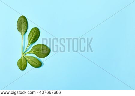 Spinach Leaf Isolated On Soft Blue Background. Semicircle Of Fresh Green Spinach Leaves , Top View.