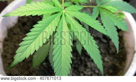 Cannabis Leaf Top View On Blurred Background Of Bush Growing In Container With Soil Indoors, Growing