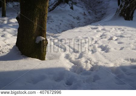 Footprints In The Snow. The Path Of Wild Animals In The Winter Forest.
