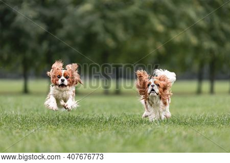 Two Young Cavalier King Charles Spaniel Dogs Are Running And Jumping Together On Green Grass At Natu