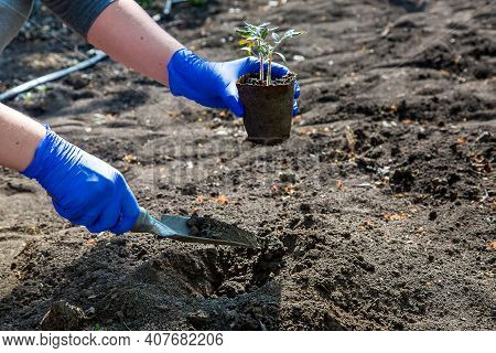Process Of Planting A Plant In The Ground For Growing Organic Vegetables, A Gloved Hand Digs A Hole