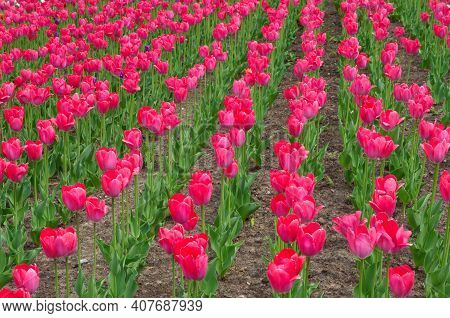 Bright Crimson Tulips Bloom In A Flower Bed In The Park
