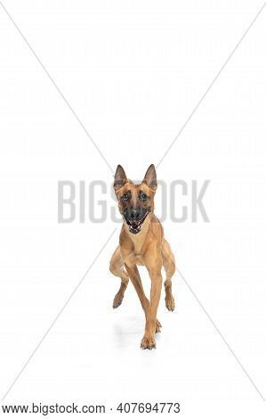 Funny. Young Belgian Shepherd Malinois Is Posing. Cute Doggy Or Pet Is Playing, Running And Looking