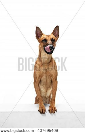 Happy. Young Belgian Shepherd Malinois Is Posing. Cute Doggy Or Pet Is Playing, Running And Looking