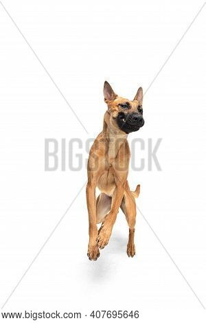 Emotional. Young Belgian Shepherd Malinois Posing. Cute Doggy Or Pet Is Playing, Running And Looking