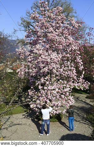 Stresa ( Verbano-cusio-ossola ), Italy - June 15, 2017: Magnolia Tree In The Isola Bella Garden, Mag