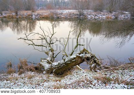 Dead Tree On The Bank Of The River Alte Elbe Near Magdeburg In Germany In Winter