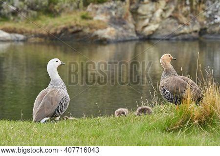 Chloephaga Picta, Upland Goose Or Magellan Goose Is A Sheldgoose Subfamily Of The Anatidae. Family W