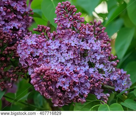 Violet Florets Of Lilac Spring In Garden. Blossoming Syringa Branch. Blooming Lilac Branch In Spring