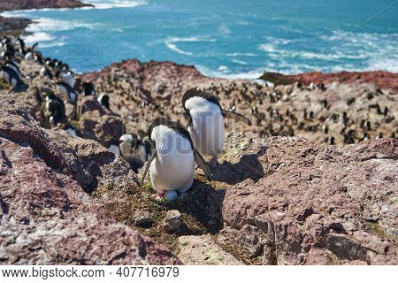 Eudyptes Chrysocome Is The Rock Hopper Penguin Also Known As Crested Penguin Living On The Rocky And