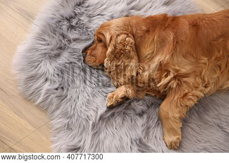 Cute Cocker Spaniel Dog Lying On Warm Floor Indoors, Top View. Heating System