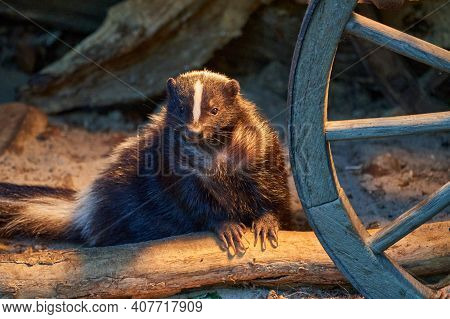 Mephitidae, Striped Skunk In A Farm Shack Next To An Old Fashioned Wheel Of A Carriage Waggon