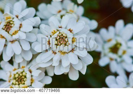 A Closeup Shot Of Beautiful White Evergreen Candytuft Flowers In A Garden