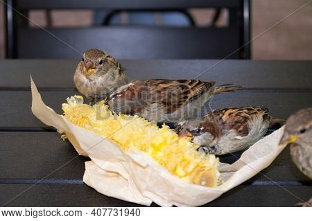 Gray Brown Sparrows Pecking Corn In Paper Packaging On Wooden Table Outdoor. Close-up.