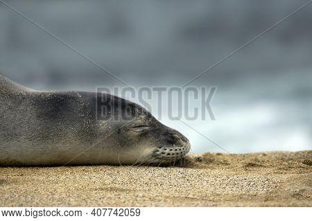 Kauai Monk Seal Sleeps On Beach