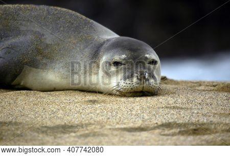 Monk Seal Awakes From Nap On Kauai