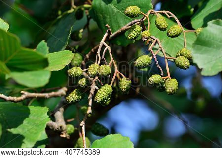 Cones And Alder Leaves Close-up. Beautiful Natural Background. Alnus Glutinosa