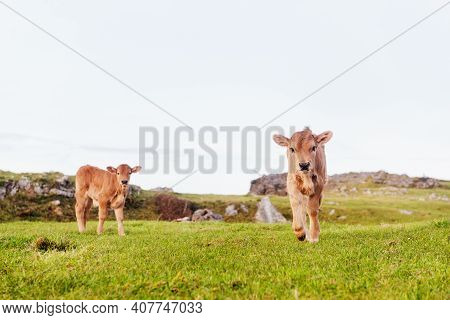 Two Brown Calves In The Green Field Looking At Camera. Calf Walking Towards The Camera. Life And Rur