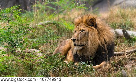 A Lion Waits Inquisitively For His Lioness To Return With Dinner.