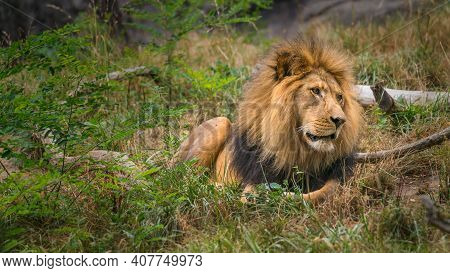 A Lion Peers Off Into The Distance Searching For Prey