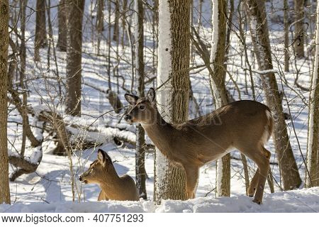 Deer. The White-tailed Deer  Also Known As The Whitetail Or Virginia Deer In Winter On Snow. White T
