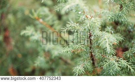 Blurred Image Out Of Focus Conifer Tree Background