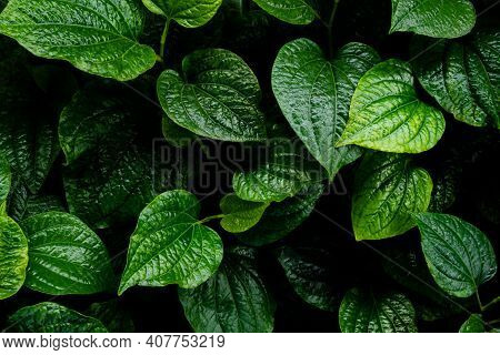 Piper Sarmentosum. Wild Betel Leafbush Herb. Food And Drink For Health Concept.