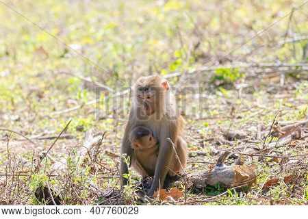 Monkey, Northern Pig-tailed Macaque (macaca Leonina) In Khao Yai National Park, Thailand