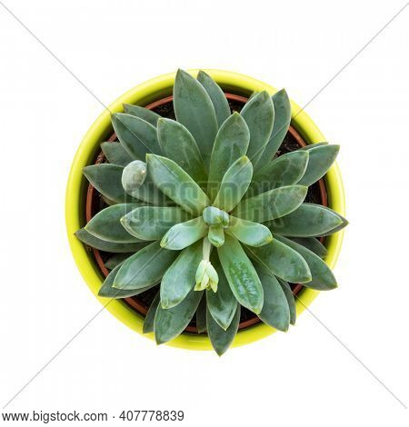 Succulent plant in lime green flower pot, pachyphytum hookeri , top view, isolated on white background