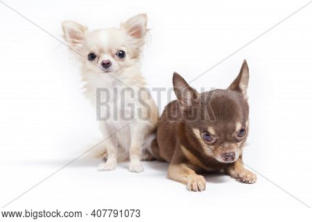Long-haired And Short-haired Chihuahua On White Background.