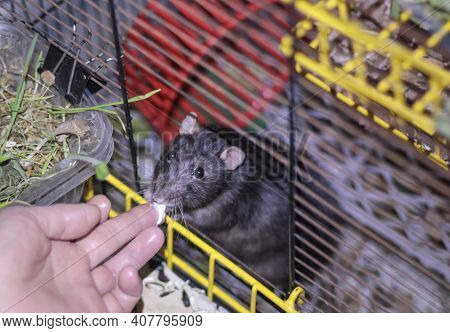 A Tame Black Pet Rat Takes Food From Its Owners Hands While Peeking Out Of Its Cage.