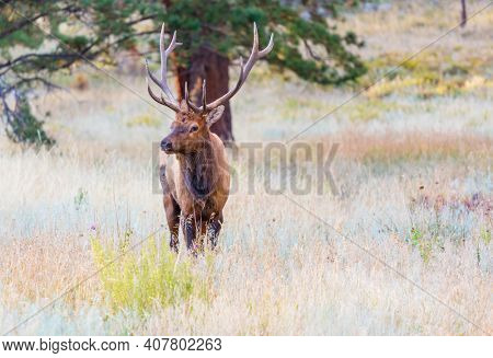 Mountain Bull Elk in autumn forest, Colorado, USA