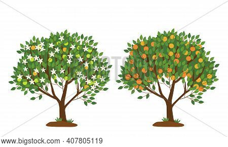 Tangerine Tree In Bloom And With Ripe Fruits Isolated On White. The Tree Is Strewn With White Flower