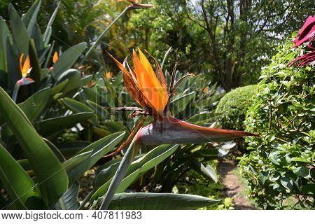 Flower Bird Of Paradise (strelitzia) In The Dalat Flower Park
