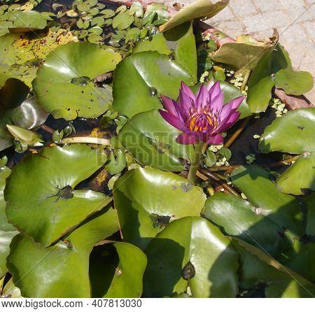 Water Lily, Tropical Plant, Nha Trang Vietnam