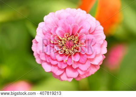 Bright Pink Zinnia Flower In The Garden, Top View . Macro Horizontal Photo