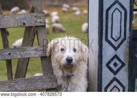 White Sheep Dog And Sheeps On The Backgound