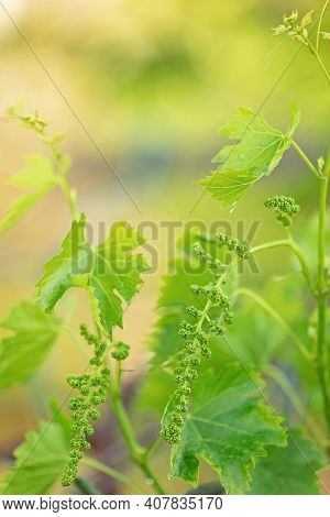 Grape Flower Buds, Baby Grapes. Close-up Of Flowering Grape Vines, Grapes Bloom During Rainy Summer