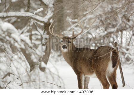 Big Whitetail Buck Deer In Snow