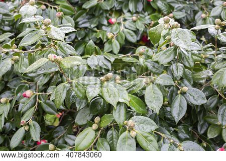 A Camellia Plant With Many Buds About To Flower
