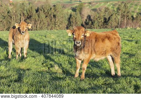 A 2 Young Bos Taurus Calves, At Dusk, In A Pasture Looking At The Camera, Selective Focus On One Of
