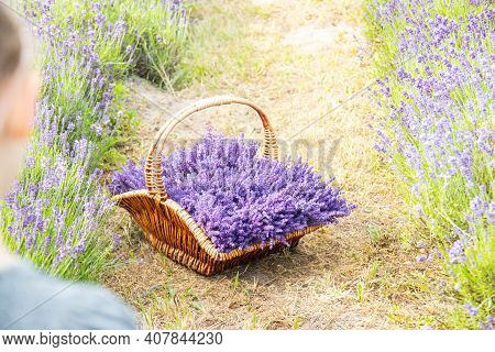 A Wicker Basket Of Freshly Cut Lavender Flowers In The Hands Of Girl In A Dress Among A Field Of Lav