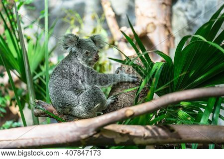 The Koala, Phascolarctos Cinereus, Or, Inaccurately, Koala Bear Is An Arboreal Herbivorous Marsupial