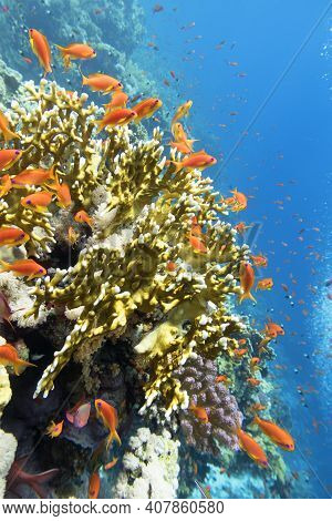 Colorful Coral Reef At The Bottom Of Tropical Sea, Yellow Fire Coral And Shoal Of Tropical Fishes An