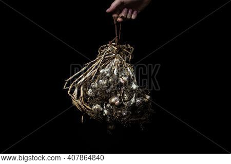 Garlic On A Black Background. A Bunch Of Dried Garlic With Pieces Of Earth. Man\'s Hand Holds A Bunc